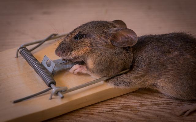 extermínio de roedores