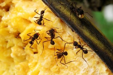 exterminar formigas definitivamente