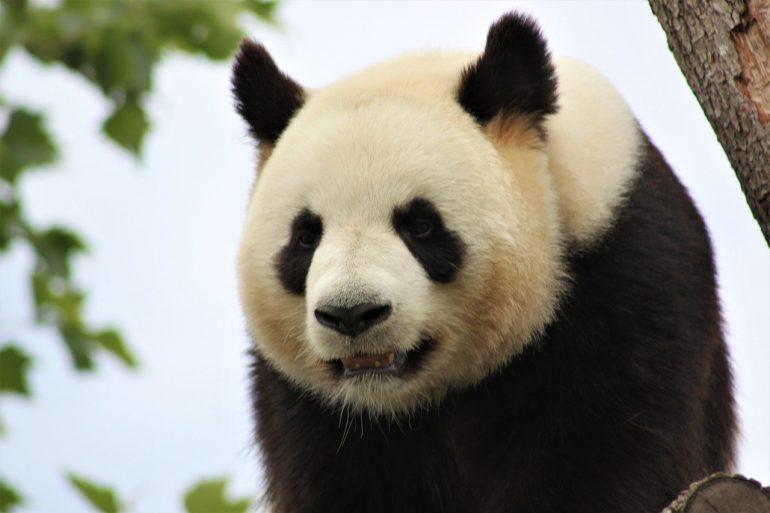 panda zoo beauval